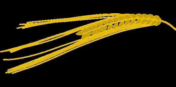グルテンフリー・小麦の穂